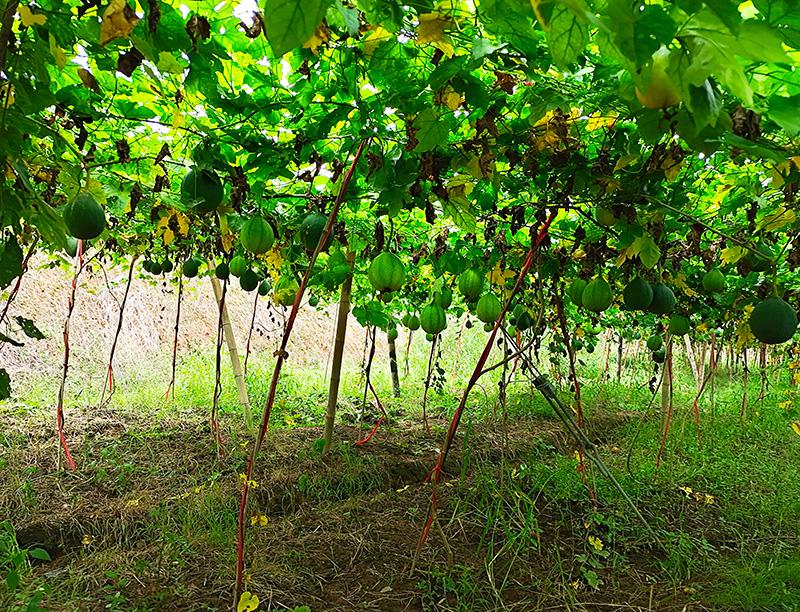 瓜蒌种植基地